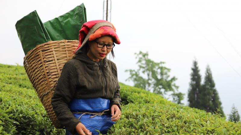 The last king of Sikkim initiated tea growing in Sikkim to provide employment for Tibetan refugees fleeing the Chinese invasion of their homeland.