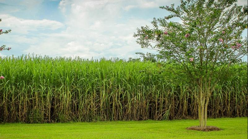 Researchers investigating whether climate change is hurting sugar harvests in Cuba. (Photo: Pixabay)