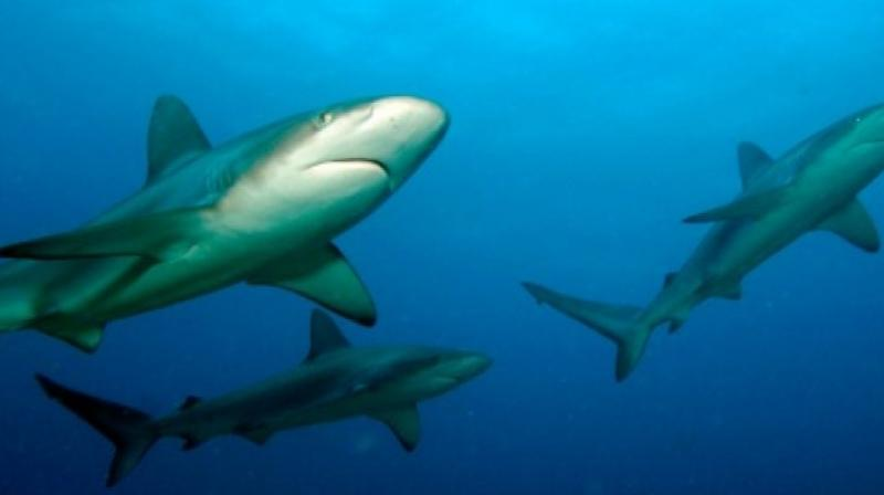 It was obvious that the sharks knew that they had to do something when the classical music was played (Photo: AFP)