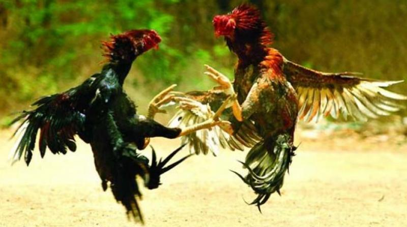 It has become a great challenge for politicians in East and West Godavari Districts to organise cockfights during this Sankranti season.
