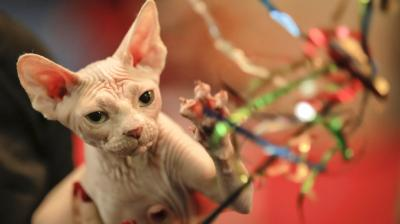 More than 250 cats take part in the two-day competition in the Romanian capital. (Photo: AP)