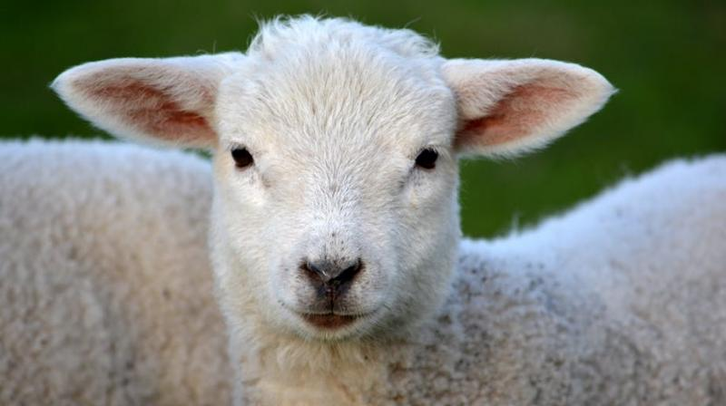 Here's to the one's who dream... of sheep. (Photo: Pexels)