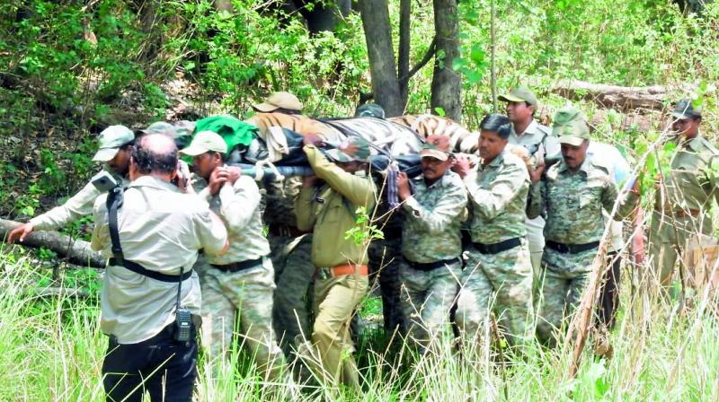 Forest personnel carry the tranquilised tiger from Kanha National Park. It was later released in Satkosia in Odisha.