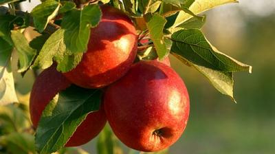 The Centre decided to procure apples in the region in the wake of terrorists threatening some apple growers not to sell their produce in the market. (Photo: Pixabay)