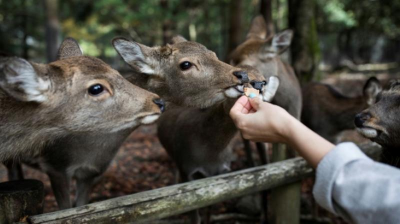 The deer at the park – numbering on average about 1,200 – are protected as a national treasure. (Photo: AFP)