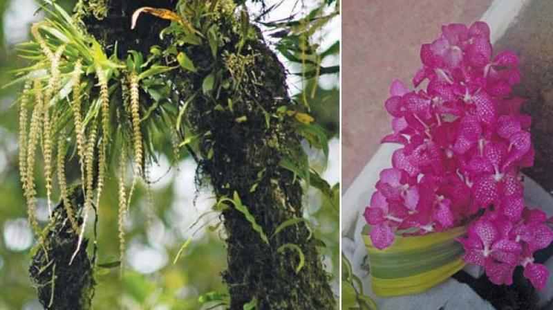 Oberonia verticillata and Satyrium nepalense