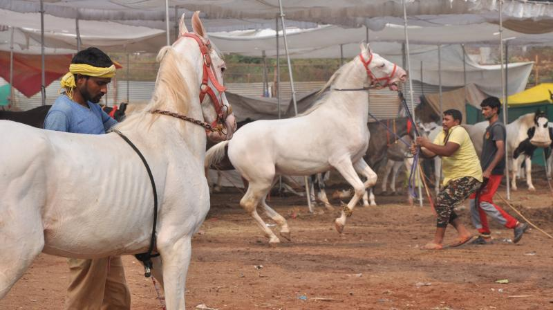 For more than 300 years, Sarangkheda, a village in Nandurbar district of Maharashtra, has been hosting Chetak Festival – a celebration of the finest equestrian breeds. A festival that lasts for a month, it is a rare, yet spectacular sight to witness more than 2000 majestic horses in a single location.