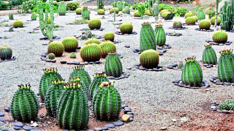 Around 100 species of cacti can be seen at the Catus Garden which is located in Sanjeevaiah Park. (Photo: DC)