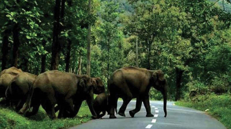 Among the migrating animals,  the number of Asiatic elephants is high.