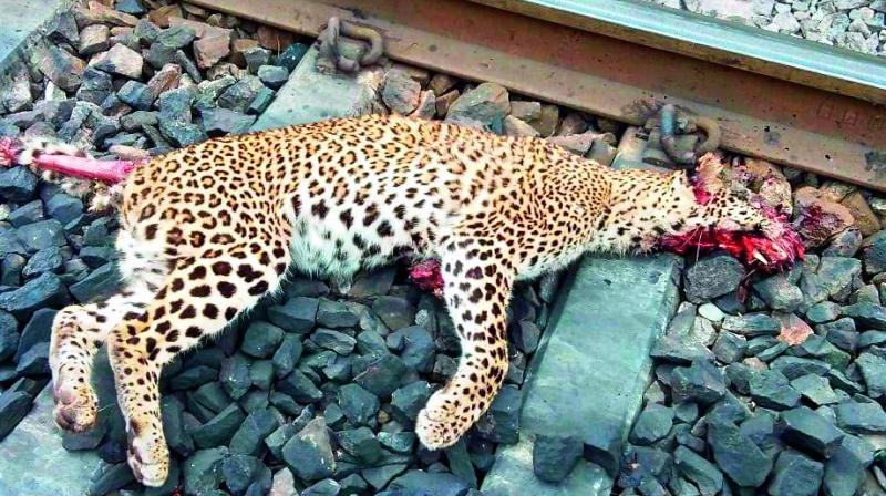 A year-old leopard was found dead on the railway tracks near Chelima in the Nandyal forest division on Friday.