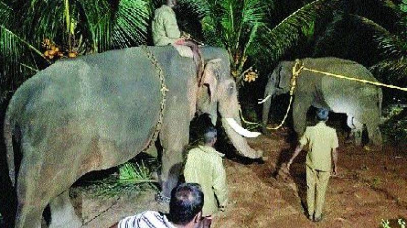 Elephant Arisi Raja tranquilized and captured on Wednesday. (DC)