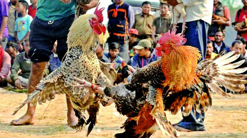 Hundreds of crores of rupees and assets are bet over  cockfights (despite a ban by the High Court) during Sankranti.