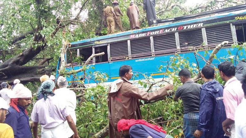 The big banyan tree uprooted on NH-66 in Koyilandy on Saturday. (Photo: DC)