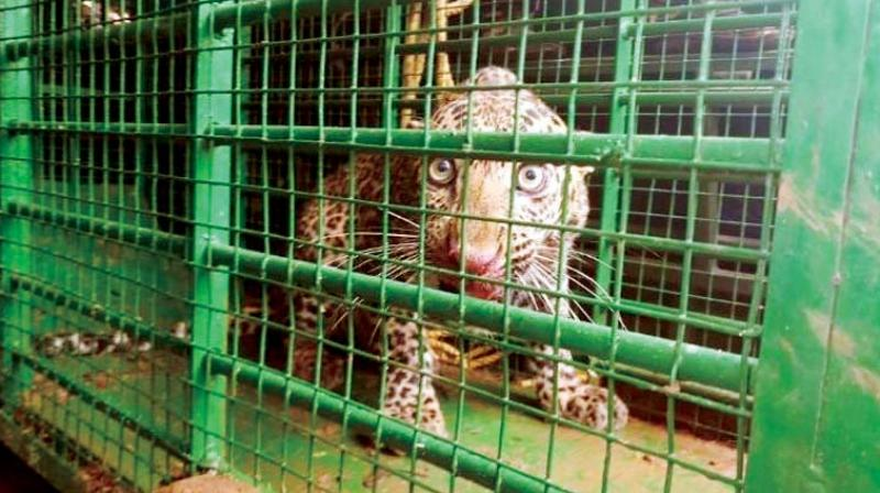 A strayed leopard rescued and shifted from a house at Nagenahalli, in Hassan on Friday	(Image: DC)