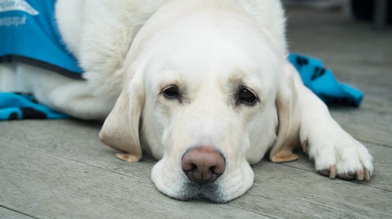 his is not the first time, however, that Fred the labrador has bonded with a rescue animal. (Representational Image/ Pixabay)