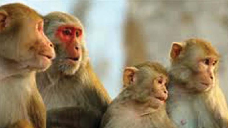 Ms Renuka Regani, one of the residents, said the apartment was located on the edge of a vast open space in Padmaraonagar, where groups of monkeys stayed. These monkeys criss-cross the locality in search of food.