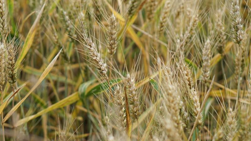 The NASA experiments involved using continuous light on wheat which triggered early reproduction in the plants.