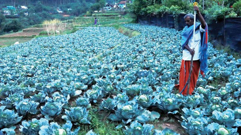 The agriculture department has launched good agricultural practices in 12,000 hectares. It has already collected samples from around 300 clusters to get them tested at accredited labs under the Agricultural and Processed Food Products Export Development Authority. (In Pic): A cabbage farm in Kanthallur in Idukki district