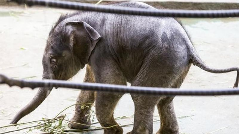 Newborn elephant Filimon walks in the pavilion at the Moscow zoo in Moscow, Russia, on Tuesday, June, 20, 2017. Filimon, a baby elephant recently born at the Moscow zoo, has been presented to the public for the first time. (AP Photo/Alexander Zemlianichenko Jr.)