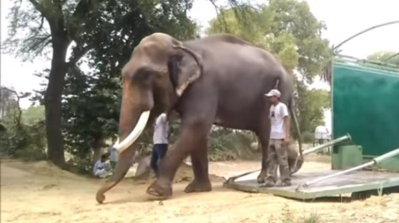 Video: Elephant Gajraj takes his first steps after being