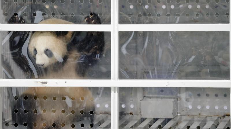 Giant panda Meng Meng looks out of its container during a presentation after the arrival from China at the airport Schoenefeld near Berlin, Saturday, June 24, 2017. Two giant pandas from China have landed safely in Berlin where they are being welcomed by the German capital's mayor and the Chinese ambassador. Meng Meng and Jiao Qing were treated like royalty on their 12-hour-flight from Chengdu in southwestern China — their entourage included a Berlin veterinarian, two Chinese zookeepers and traveling press. The German capital is going nuts over the cute bears, which will first be presented to the public at the zoo on July 6. (AP Photo/Markus Schreiber)