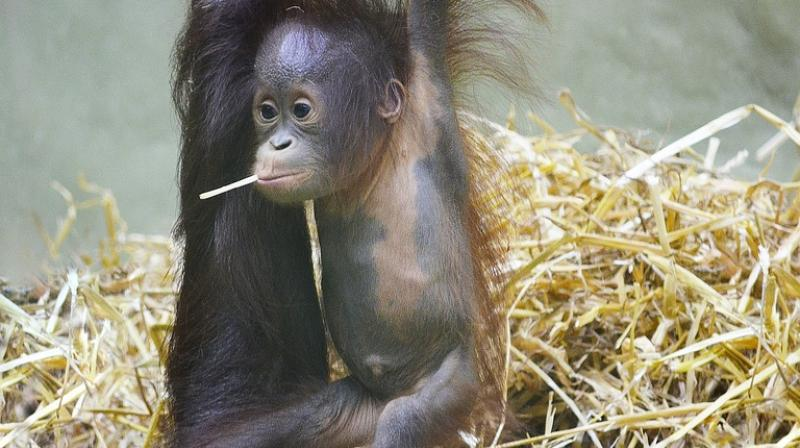 Image of: Sumatran Orangutan Deccan Chronicle New Species Of Orangutans Discovered And They Are Already Endangered