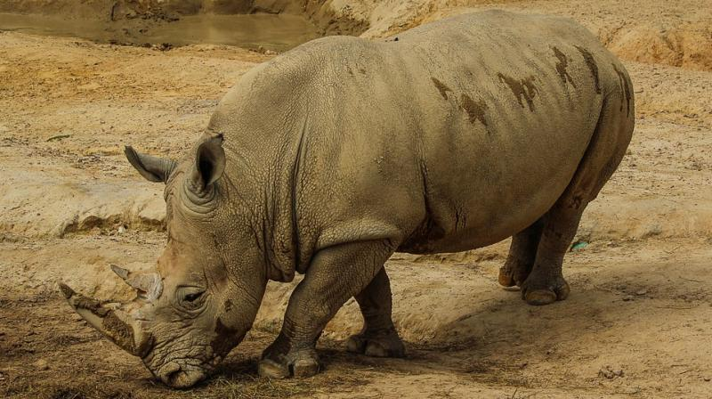 Breeders believe open trade is the only way to stop poachers slaughtering rhino. (Photo: Pixabay)