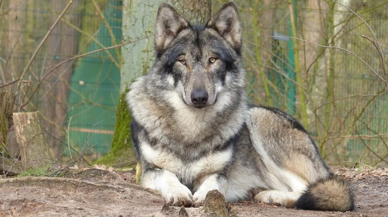 got like dire wolves may soon roam the earth again as house pets
