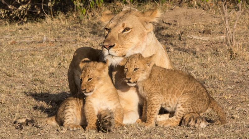 Sampu Enkare pride lioness with her two cubs. (Photo: Nirmalya Banerjee)