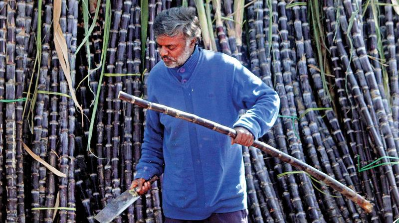 Government announced a soft loan of up to Rs 10,540 crore to the sugar industry to help mills clear mounting arrears to cane growers. (Photo: DC)