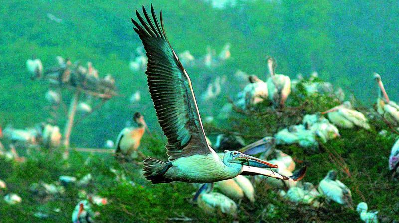 Pelicans throng the Atapaka bird sanctuary. (Photo: C. Narayana Rao)