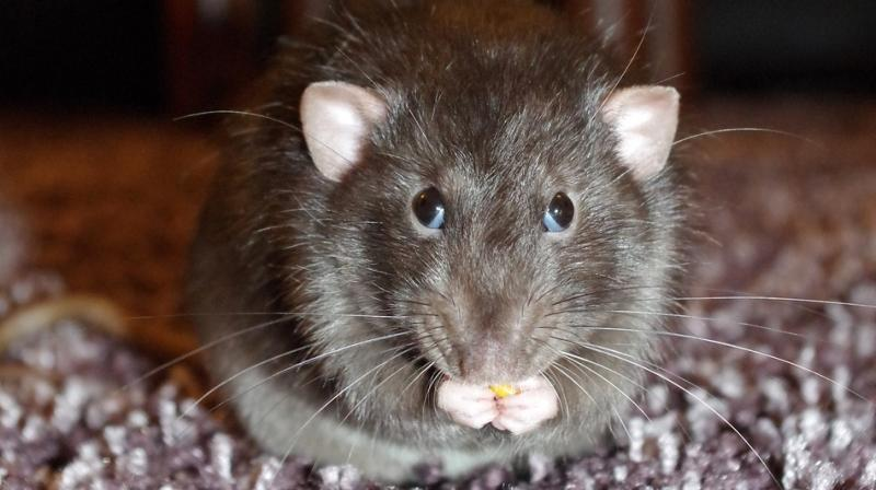 Teen Couple Jailed After They Let Rats Gnaw Their Newborn Baby