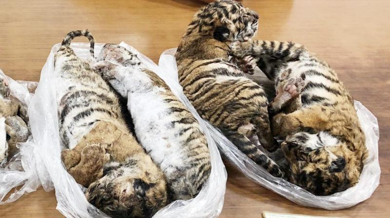 All seven tigers appeared to be cubs, according to photos of the seizure. (Photo: AFP)