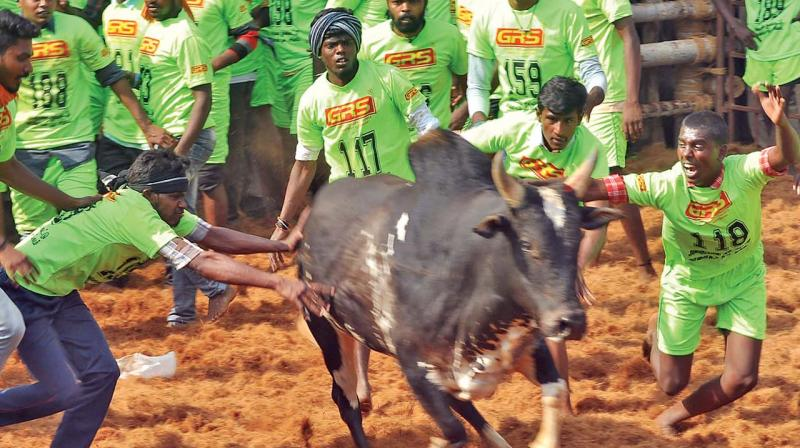 Participants try to tame a bull at the event on Sunday. (DC)