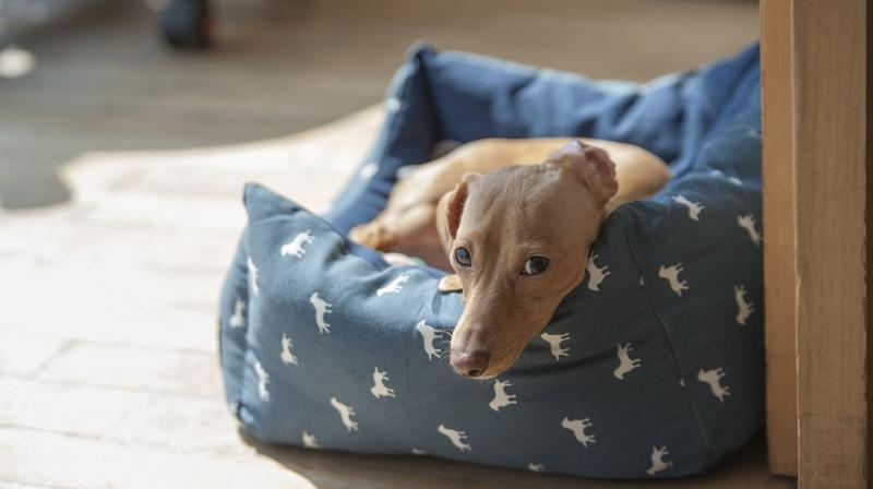 Scientists reproduced the sausage dog's DNA in a litter borne by a canine surrogate mum. (Representational Photo: Pixabay)