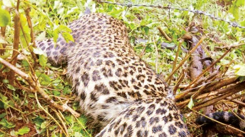 A male leopard was found dead after being caught in a snare at Neekanahalli of Sakleshpur in Hassan on Wednesday.