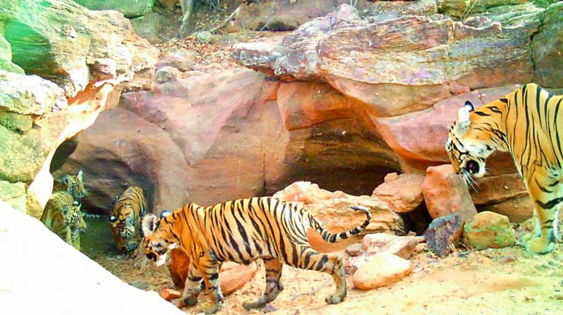 Tigress Falguna with her four cubs spotted this month in Kagaznagar forest division.
