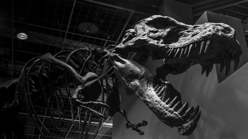 The massive skeleton is the culmination of a decades long quest by the National Museum of Natural History to acquire a rare and coveted T. rex skeleton. (Photo: Representational/Pixabay)
