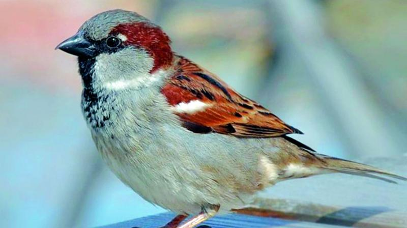 As the house sparrows consume mosquito larvae also, their presence helps tackle mosquito related health problems in the city.