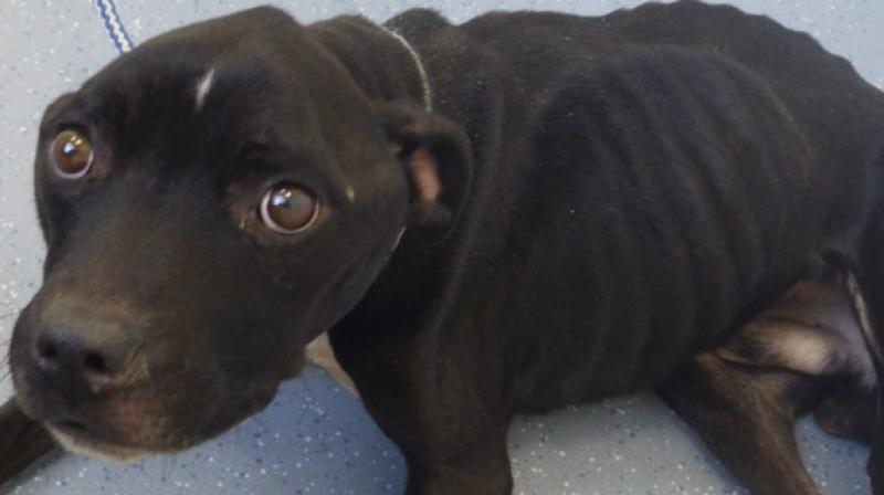 Maxie, a Staffordshire bull terrier, was found in horrific conditions. ( All Photos: RSPCA)
