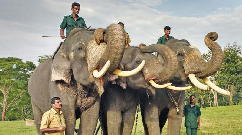 The three Kerala jumbos raise their trunks to bid adieu to MTR after completing their training in kumki skills and activities.	Image: DC