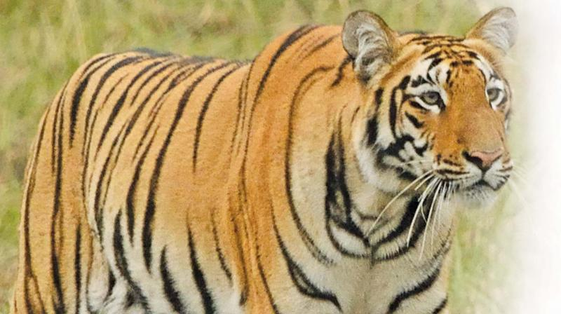 When poaching activity was evident with the seizure of two tiger skins in January this year, the Telangana forest department revived the proposal for a Special Tiger Protection Force and sent it to the Government of Telangana. (Representational image)
