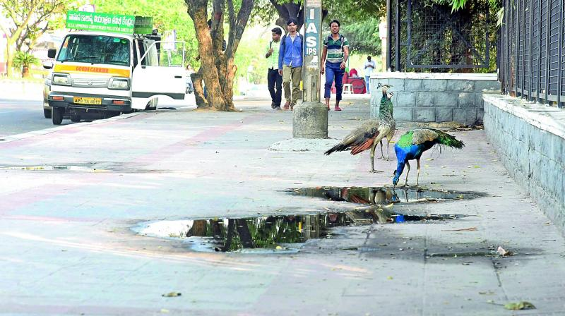 A peacock quenches thirst with roadside water on the footpath of KBR Park in Hyderabad on Sunday. (Photo: R. Pavan)