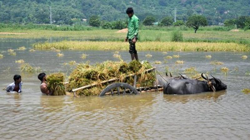 Farmers harvest paddy in flood-hit Mayong village in Morigaon district of Assam on Tuseday. (Photo: PTI)