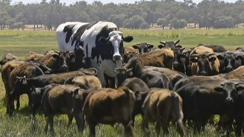 Massive cow named Knickers has been deemed 'too large to eat'