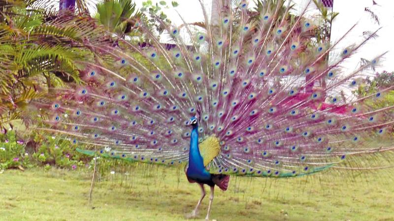 A peacock does a splendorous dance near Mandapam in Ramanathapuram district, apparently buoyed by the cloud patches.