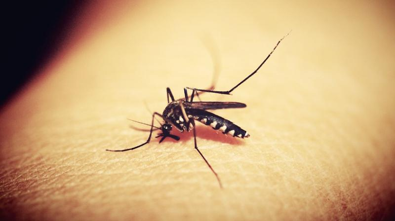 Zika virus has been found in some mosquitoes taken as samples from Sindhi Camp and densely populated Shastri Nagar. (Representational Image | Pixabay)