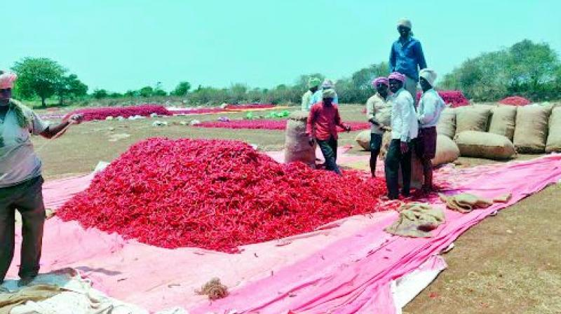 Farmers are unhappy because they are unable to get a remunerative price for chilli.