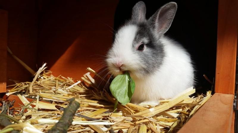 California became the first US state to pass a law aimed at stemming a post-holiday deluge of maturing rabbits being abandoned or euthanised. (Photo: Representational/Pixabay)