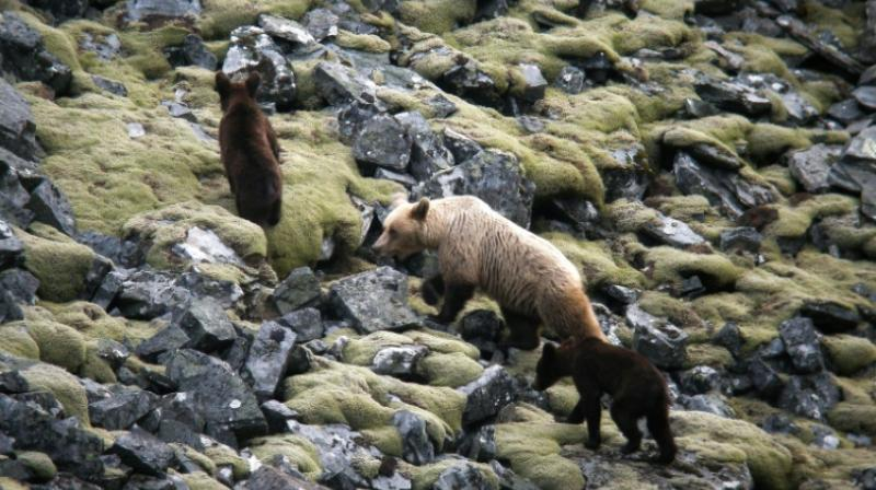The bears have become a magnet for tourists in the Somiedo nature reserve, says local mayor Belarmino Fernandez. (Photo: AFP)